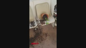 Saksıdaki Kenevirleri Kemiren Kedilerin Zom Olması