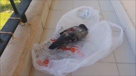 Saksağan Güvercini Öldürdü