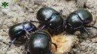 Bok Böceği Belgeseli -  Tarihte Bok Böcekleri (Kenan Kesmez farkı ile)