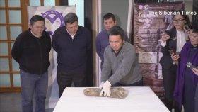 Rusya'da Bulunan 50,000 Yıllık Donmuş Mağara Aslanı Yavrusu