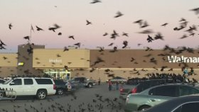 Teksas'ta Otoparkı İstila Eden Kuşlar