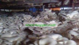 İstiridye Mantarı Üretiminde Önemli Olan Kompostun Kalitesi ve Verimidir