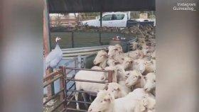Kendini Köpek Zanneden Beçtavuğunun Koyunlar İle Takılması