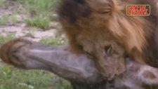 Aslanların İnanılmaz Avlanma Becerileri