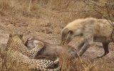 Leoparın Avını Elinden Alan Sırtlanlar