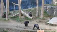 Şempanzelerin Sopalı Kavgası
