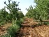 Badem Ağaçları Videosu
