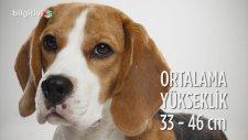 Beagle Cinsi Köpeklerin Özellikleri ve Bakımı