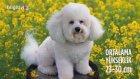 Bichon Frise Cinsi Köpeklerin Özellikleri