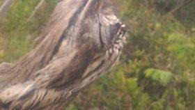 Ağaç Kütüğünü Taklit Eden Patu Kuşu