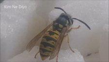 Eşek arısı şeker yerken çok yakın çekim (Allah Öyle Güzel Renk Vermiş)