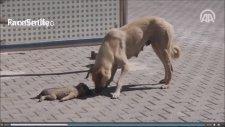 Köpek Ölen Yavrusunun Başından Ayrılmıyor.