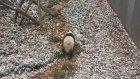 Karın Yağmasına Sevinen Panda