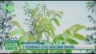 2 Yaşındaki Ceviz Ağacının Bakımı Nasıl Yapılır?