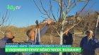 5 Yaşındaki Ceviz Ağacının Budaması Nasıl Yapılır?