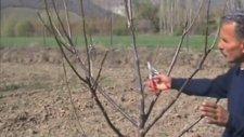 Ceviz Ağacı Budaması Chandler Çeşidi-. İlyas Dülger Hoca