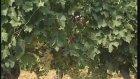 İç Anadolu Bölgesi'nde Yetiştirilen Üzüm Çeşitleri
