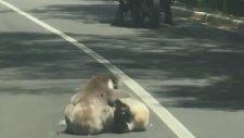 Yolun Ortasında Güreşen Koalalar