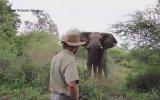 Korkusuz Safari Rehberini Görünce Frenleyen Fil