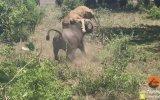 Buffalonun Dişi Aslana Saldırması