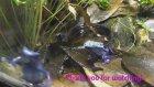 Mavi Zehirli Ok Kurbağası