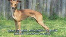 En Tatlı Süs Köpekleri ve Özellikleri