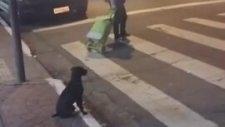 Yayalara Yeşil Işık Yanmasını Bekleyen Sokak Köpeği