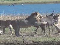 Aslan Ailesinin Antilop Saldırısı