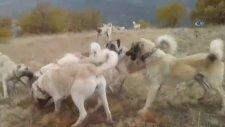 Kangal Köpekleri Domuzu Böyle Parçaladı