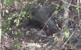 Komodo Ejderinin Bir Çırpıda Maymun Avı