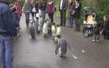 Penguenlerin Yürüyüş Düzenlemesi