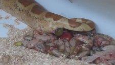 Boa Yılanının Doğum Anı