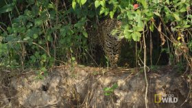 Jaguar'ın Timsahı Evinde Avlaması
