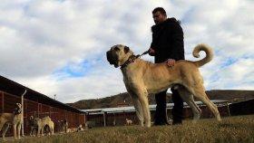 Kurtların Korkulu Rüyası Köpeklerin Özenle Yetiştirilmesi