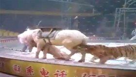 Sirkte Aslan Ve Kaplan Bir Oldu Ata Saldırdı
