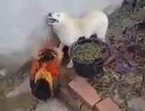 Psikopat Horozun Köpeği Dövmesi