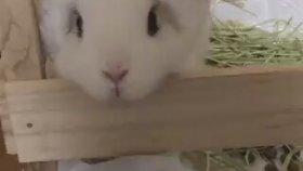 Koyun Muamelesi Gören Sevimli Tavşan