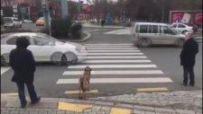 Köpek Kırmızı Işıkta Bekledi Yaya Geçti