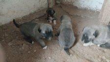 KaRa KıRçIl KaNgAl YaVrUsU-kangal köpek çiftliği