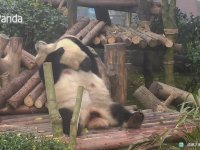 Yaramaz Yavrusunu Sevmeye Doyamayan Anne Panda