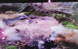 Kocaeli Bilim Merkezi Tilki Çürüme Videosu