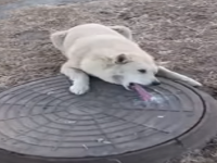 Rögar Kapağına Dili Yapışan Köpeğin Kurtarılması - Rusya