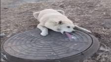 Rögar Kapağına Dili Yapışan Köpeğin Kurtarılması