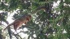 Maymunu Havada Yakalayıp Yiyen Piton Yılanı