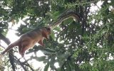 Pitonun Maymunu Havada Yakalayıp Yemesi