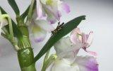Pembe Peygamber Devesinin Böcek Avı