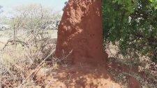 Hayrete Düşüren 4 Metrelik Karınca Yuvası