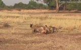 Yakaladığı İmpalayı Sırtlana Kaptıran Leopar