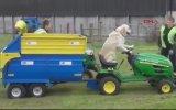 Sahibine Tarlada Traktör Sürerek Yardım Eden Köpek