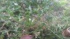 Çoban çantası otunun yaprakları çayının faydaları çoban çantası otunun yaprakları çayının faydaları